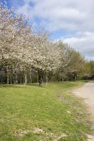 weald: A dirt track lined with trees in full blossom