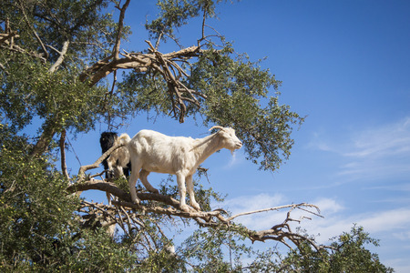 Tamri goats climing on argan trees  in Morocco, Africa. Argan Oil is produced by using the seeds of the trees and is used for skin care, cosmetics and beauty products Stock Photo