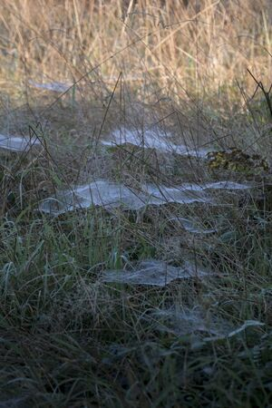 Long grass full of a network of cobwebs, soaked in dew Фото со стока