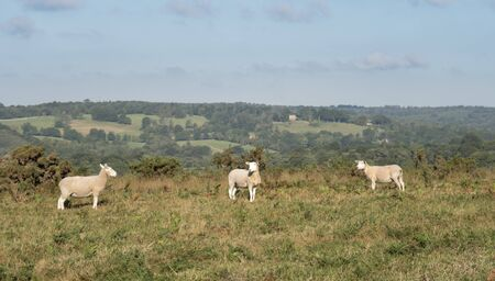 Three sheep on Ashdown Forest, East Sussex, UK