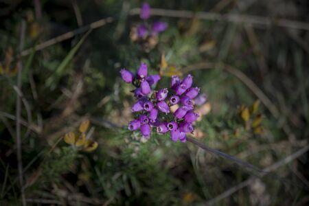 Wild pink heather flower in bloom