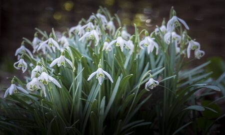 A bunch of white snowdrops in full bloom