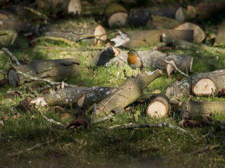 A British robin sitting on a log in dappled sunlight