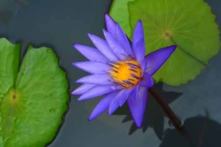 goodly: Lotus flowers have a violet purple stamens pretty intense. Stock Photo