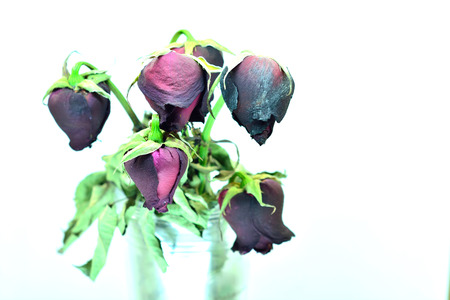 heartbreaking: Haggard and heartbreaking love And withered red rose Stock Photo