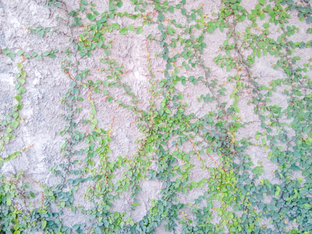 dilapidated wall: Luke dilapidated cement wall with ivy. Stock Photo