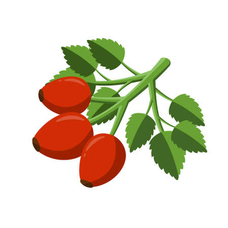 Rosehip sprig with leaves. Isolated berry branch vector on white background Vettoriali