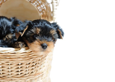 Cute pretty Yorkshire terrier puppy dog sitting in a box. isolated white background . copyspace photo