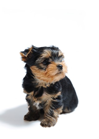 Cute pretty Yorkshire terrier puppy dog sitting. isolated on white background photo