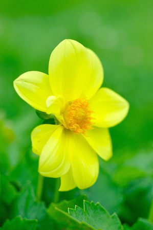 Beautiful yellow flower on green blurred background photo