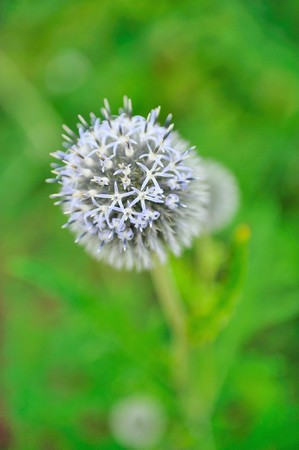 Beautiful violet round flower in the garden photo