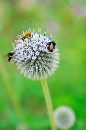 three bees on one violet flewer. blurred background photo