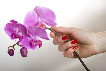 Beautiful hand with red manicure holding pink orchid flower Stock Photo - 7610051
