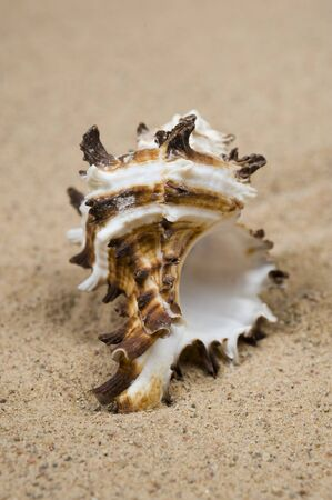Macro studio shot of beautiful sea shell on a yellow sand photo
