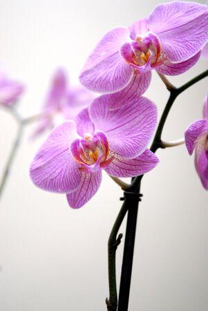 purple orchid: Beautiful purple orchid Stock Photo
