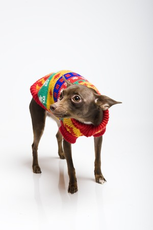 doxie: Picture of a funny curious toy terrier dog looking up. white background