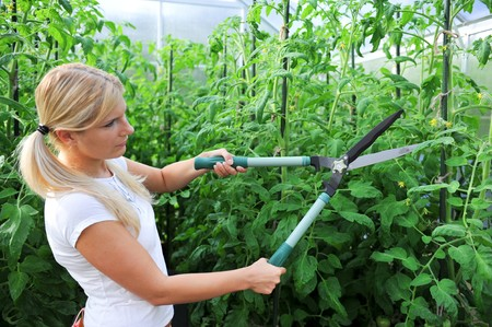 young pretty gardening woman trimming tomatos in greenhouse photo