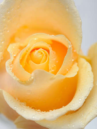 Beautiful creamy rose flower with rain drops photo