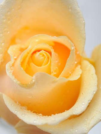 Beautiful creamy rose flower with rain drops photo