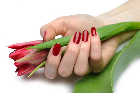 Beautiful hand with perfect nail red manicure and tulip. isolated on white background photo