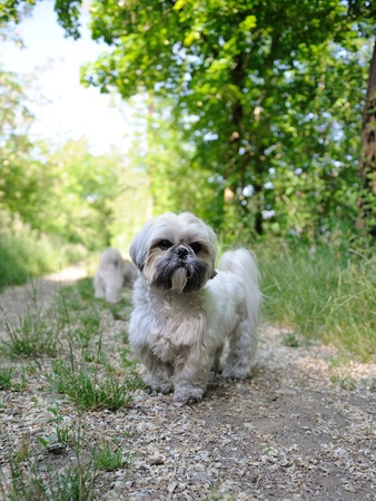 Cute funny shih tzu breed dog outdoors on green forest Stock Photo - 9520511