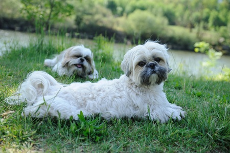 Cute funny shih tzu breed dog outdoors on green forest photo