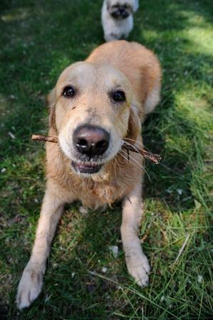 Cute healthy golden  retriever dog walking on green meadow outdoors Standard-Bild