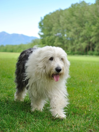 Big bobtail old english shipdog breed dog outdoors on a field Stock Photo