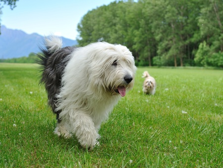sheepdog: Big bobtail old english shipdog breed dog outdoors on a field Stock Photo