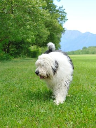sheepdog: Big bobtail old english shipdog breed dog outdoors on a field Stock Photo