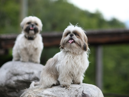 Cute funny shih tzu breed dog outdoors barking photo