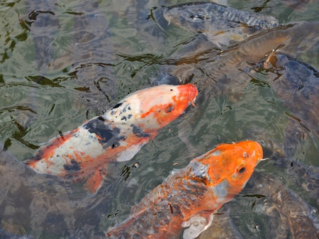 Two Colorful Koi or carp chinese fish in water Stock Photo - 10040484