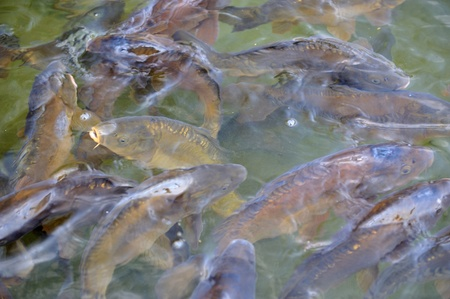 Many carp fishes in a water during feeding time Stock Photo - 10040487