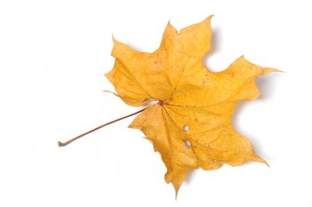 yellow autumn leaf isolated on white background Stock Photo - 11079819