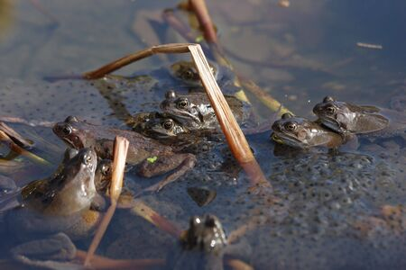spawning: Frogs spawning Stock Photo