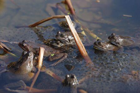spawning: Las ranas de desove  Foto de archivo