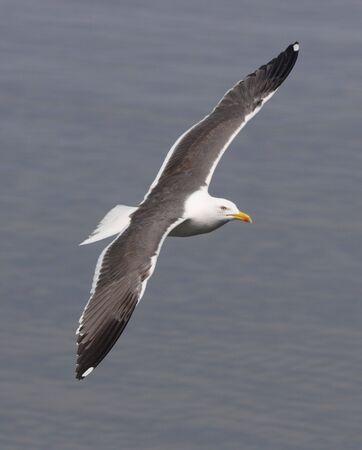 lesser: Lesser Black Backed Gull