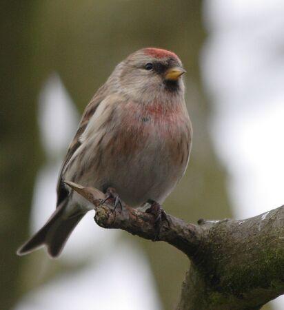 lesser: Lesser Redpoll