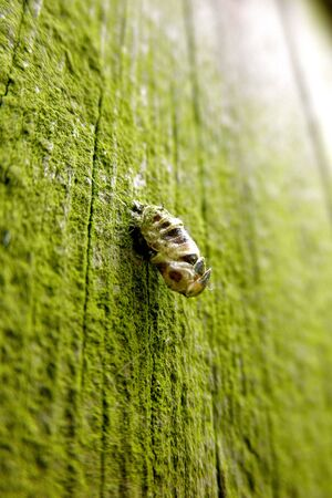 Insect pupa on a green fence Stock Photo