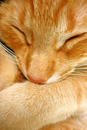 gato naranja: Orange gato se acurruca a dormir la siesta