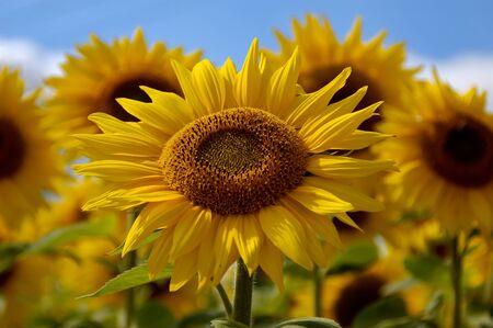 Giant Sunflowers against blue sky Stock Photo - 17486148