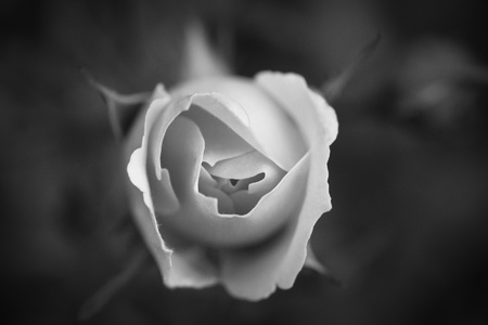 Single white rose in black and white Stock Photo