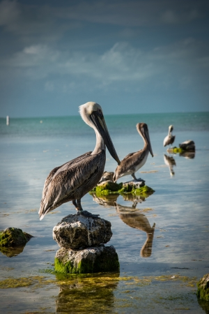 Pelicans sitting in a row