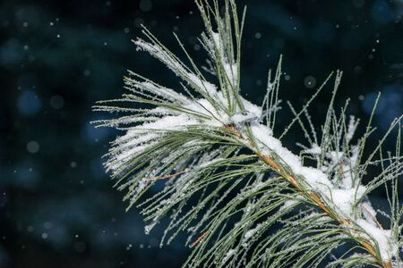 Pine needles capturing snow flakes during a snow storm