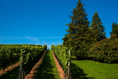 Well groomed Vineyard Stock Photo - 17572677
