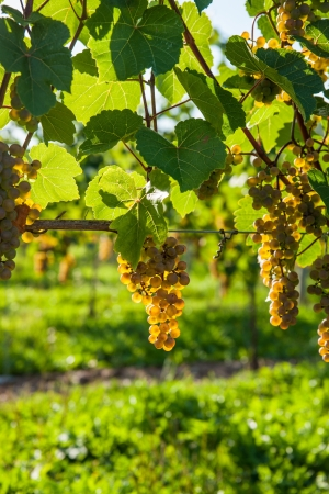 White wine grapes ready for harvest, reflecting golden colour