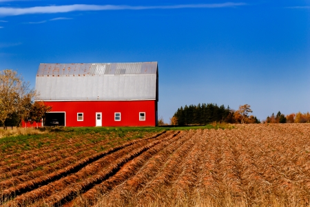 Bright red barn against blue sky, rows of harvested potatoes leading to the building