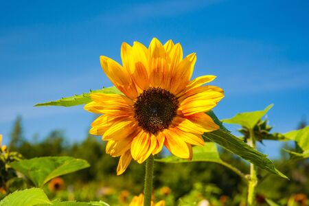 Bright yellow sunflower against deep blue sky