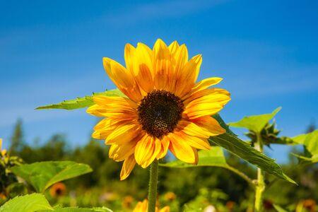Bright yellow sunflower against deep blue sky Stock Photo - 17745110