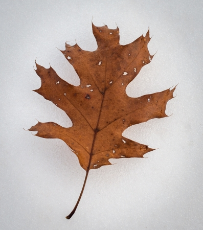 Leathery old Oak leaf on corn snow ice background